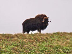 Bull Muskox
