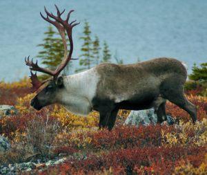 Large bull Caribou