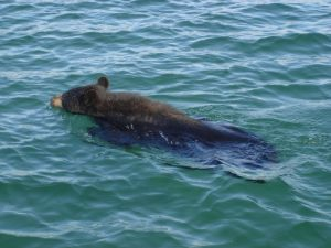 Swimming Black Bear