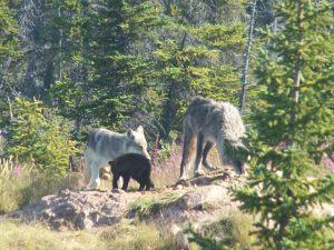 Arctic Wolf Family