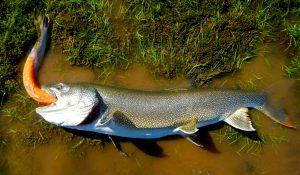 lake-trout