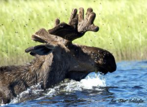 moose-swimming