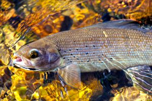 second-bay-north- grayling