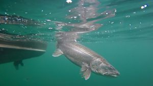 lake-trout-underwater