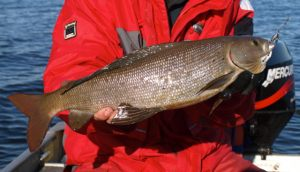 Monster Grayling