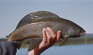 Trophy Grayling